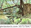 Yakushima Moss forest 30737847