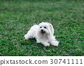 White fluffy dog playing knot rope on grass 30741111