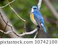 西伯利亞bluechat 小鳥 鳥兒 30742100