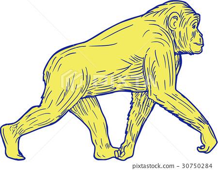 Chimpanzee Walking Side Drawing 30750284