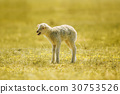 bleating lamb, a few days old, standing on grass 30753526