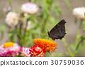 peacock, butterfly, european 30759036