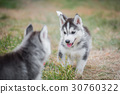 siberian husky puppies playing on green grass 30760322