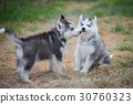 siberian husky puppies playing on green grass 30760323