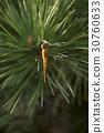 昆蟲 松針 蜻蜓 30760633