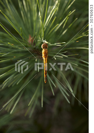 蜻蜓 30760633