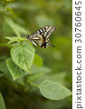 昆蟲 蝴蝶 UPS 30760645
