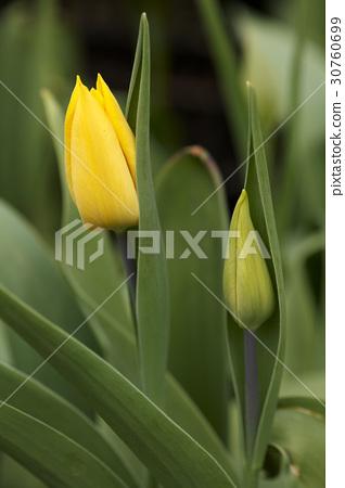Tulip 30760699