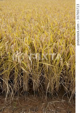 rice plant 30760713