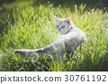 American Short Hair cat playing on green grass 30761192