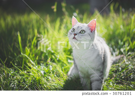 American Short Hair cat playing on green grass 30761201
