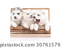 Siberian husky puppy sitting in a wooden crate 30761579