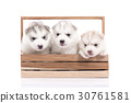 Siberian husky puppy sitting in a wooden crate 30761581