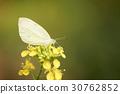나비 30762852