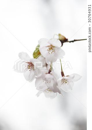 벚꽃 30764931
