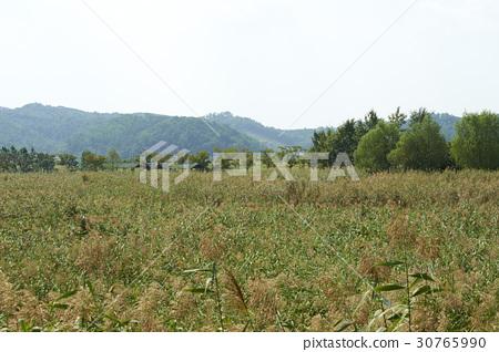 Reed, Reed Wetland Park, Ansan, Gyeonggi-do 30765990