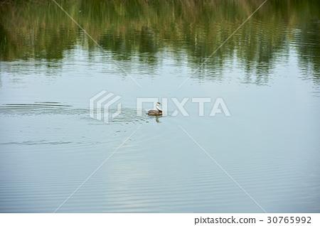 Duck, Reed Wetland Park, Ansan City, Gyeonggi-do 30765992