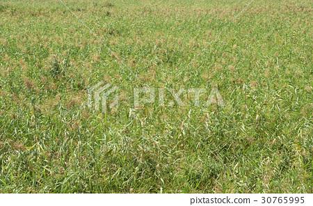 Reed, Reed Wetland Park, Ansan, Gyeonggi-do 30765995