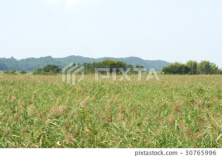 Reed, Reed Wetland Park, Ansan, Gyeonggi-do 30765996