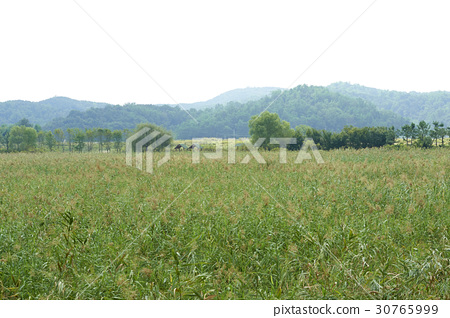 Reed, Reed Wetland Park, Ansan, Gyeonggi-do 30765999