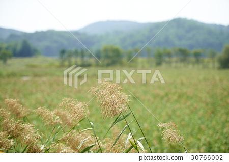 갈대,갈대습지공원,안산시,경기도 30766002