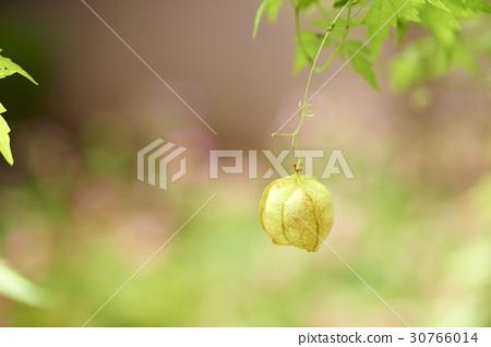 ground cherry 30766014