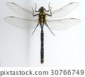 昆蟲 Nukki 蜻蜓 30766749