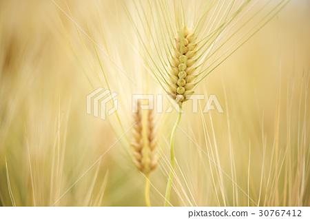 barley 30767412