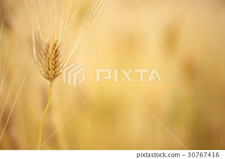 大麥 30767416