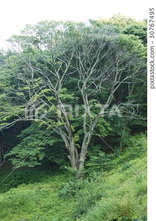 나무,강화군,인천 30767495