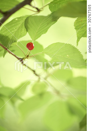 Cherry, cherry tree 30767505