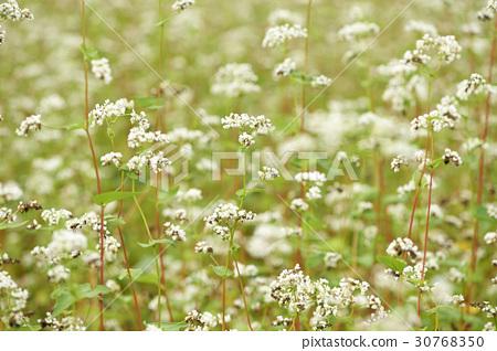 Buckwheat 30768350