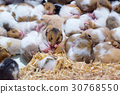 Hamster sleeping together as a group. 30768550