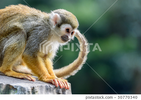 Squirrel monkeys found something 30770340
