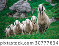 Mother sheep with the group 30777634