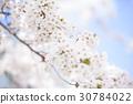cherry blossom, cherry tree, full bloom 30784022
