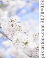 cherry blossom, cherry tree, full bloom 30784023