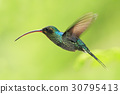 Hummingbird with long beak, Green Hermit 30795413
