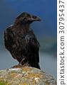 Black bird raven, Corvus corax, sitting on grey 30795437