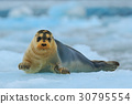 Bearded seal on blue and white ice in Svalbard 30795554