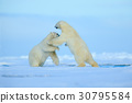 Two polar bear fighting on drift ice in Svalbard 30795584