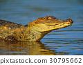 wildlife, crocodile, alligator 30795662