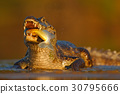 Yacare Caiman, crocodile with fish evening sun 30795666