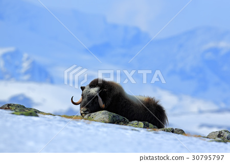 Musk Ox, Ovibos moschatus, with mountain 30795797