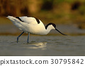 Black and white wader bird Pied Avocet 30795842