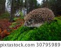 European Hedgehog, Erinaceus europaeus 30795989