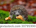 Cute European Hedgehog, Erinaceus europaeus 30795990