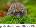 quill prickly hedgehog 30795992
