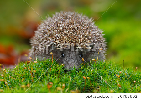 West European Hedgehog in green moss 30795992