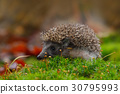 West European Hedgehog in green moss 30795993